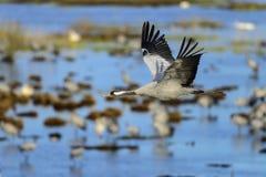 Eurasian crane Royalty Free Stock Photos