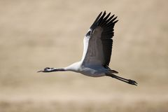 Eurasian crane flying Royalty Free Stock Photos