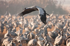 Eurasian crane flying Royalty Free Stock Image