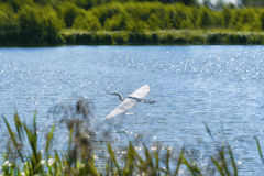 Eurasian crane Grus grus over the lake. Eurasian crane flying over the lake, Lithuania, summer landscape royalty free stock photo