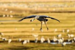 Eurasian crane Stock Images