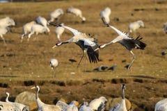 Eurasian crane Stock Photography