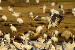 Eurasian crane Royalty Free Stock Images