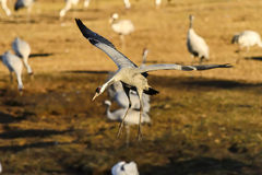 Eurasian crane Royalty Free Stock Photo
