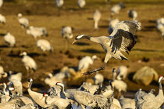 Eurasian crane Royalty Free Stock Images