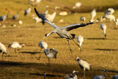 Eurasian crane Stock Photography