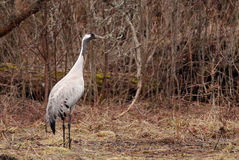 Eurasian Crane Stock Image