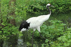 Eurasian crane Royalty Free Stock Image