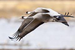 Eurasian cranes or grus grus flying in group Stock Image