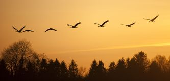Eurasian cranes or grus grus flying in sunset Royalty Free Stock Photo