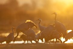 Eurasian cranes in sunset Royalty Free Stock Images