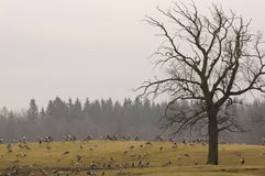 Eurasian cranes at their breeding location stock images