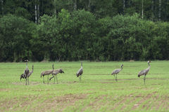 Eurasian cranes Royalty Free Stock Photo