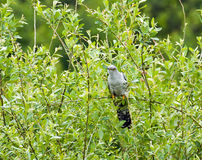 Eurasian Cuckoo Stock Photos