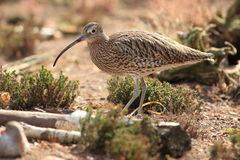 Eurasian curlew Stock Photos