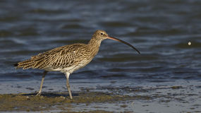 Eurasian Curlew. Is looking for food on a pond Stock Image