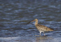 Eurasian Curlew and Crab. Eurasian curlew just before eating a crab she has hunted Royalty Free Stock Photos