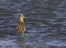 Eurasian Curlew and Crab. Eurasian curlew just before eating a crab she has hunted Stock Photo