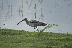 Eurasian Curlew Royalty Free Stock Photos