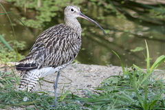 Eurasian Curlew (Numenius arquata). The Eurasian Curlew, Numenius arquata, is a wader in the large family Scolopacidae. I royalty free stock photo
