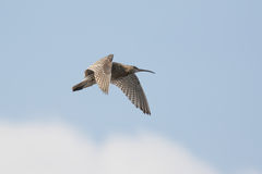 Eurasian curlew (Numenius arquata) Stock Photos
