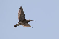 Eurasian curlew (Numenius arquata) Royalty Free Stock Images