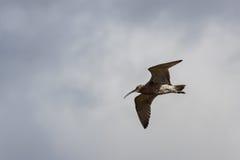 Eurasian Curlew (Numenius arquata) Stock Images