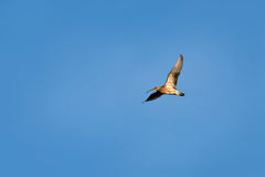 Eurasian Curlew Numenius arquata in flight on blue sky backgro Royalty Free Stock Images