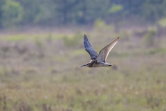 Eurasian curlew (Numenius arquata) Royalty Free Stock Photography