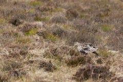 Eurasian Curlew (Numenius arquata) Royalty Free Stock Image