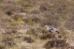 Eurasian Curlew Numenius arquata Stock Photos
