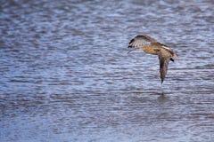 Eurasian curlew (Numenius arquata) Royalty Free Stock Images