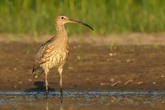 Eurasian Curlew - Numenius arquata Royalty Free Stock Photo