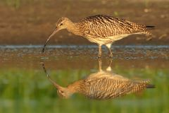 Eurasian Curlew - Numenius arquata Royalty Free Stock Photography