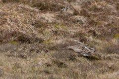 Eurasian Curlew Numenius arquata Stock Images