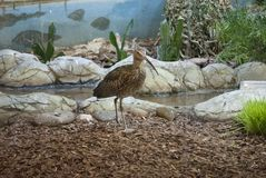 Eurasian curlew 2. Curlew by the stones on the ground, a bird with a long beak Stock Photography