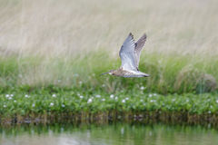 Eurasian Curlew wader Numenius arquata flying, in flight low o Stock Images