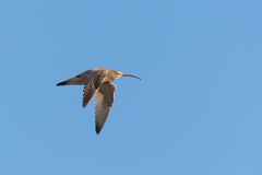 Eurasian curlew (Numenius arquata) Royalty Free Stock Photos