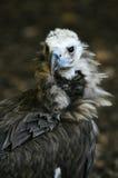 eurasian czarny sęp Obraz Royalty Free