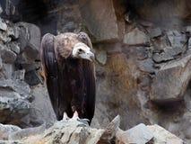 eurasian czarny sęp Fotografia Stock