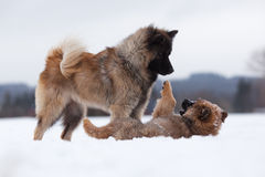Eurasian dog plays with its puppy Royalty Free Stock Image