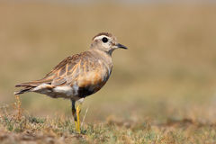 Eurasian Dotterel Stock Photography