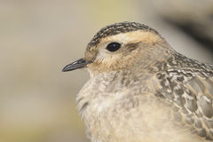 Eurasian Dotterel (Charadrius morinellus) Stock Photo