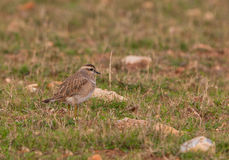 An Eurasian Dotterel in the steppe habitat Royalty Free Stock Photography