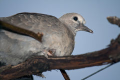 Eurasian Dove Stock Photo