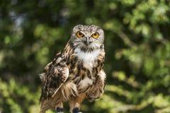 Eurasian Eagle Ow. An adult Eurasian Eagle Owl with bright orange eyes stock photo