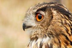 Eurasian eagle owl. Portrait of a wonderful bird Royalty Free Stock Image