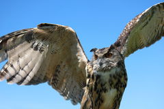 Eurasian Eagle Owl. In flight with blue sky background Stock Photography