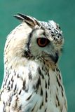 Eurasian eagle-owl Stock Photos