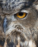 Eurasian eagle owl. Closeup of the eye of a eurasian eagle owl Stock Photo